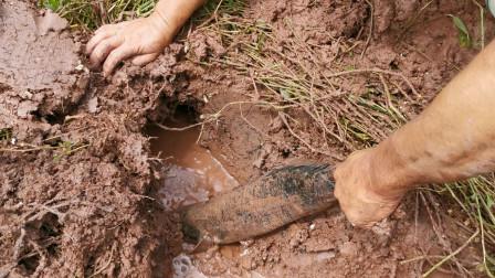 大叔在藕塘发现一个龙虾洞,挖开看见一条黑色的尾巴,真是惊喜啊
