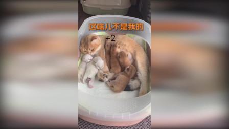 科学吸猫EP1 如果窝里多了两只猫仔 大猫会怎样