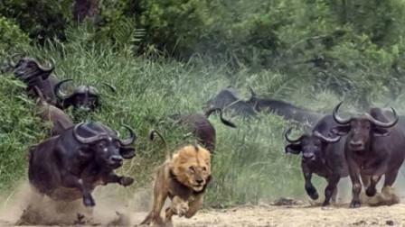 为护小牛水牛与雄狮拼命厮杀