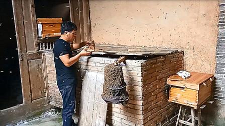在谷仓里呆了两年多的蜜蜂,遭遇了什么,农村小伙在把他收了