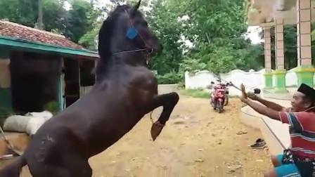 马儿练习直立行走,马:其他的动物都会,我不能被它们看扁了!