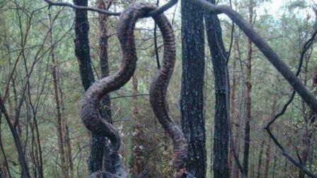 """痛心!印尼发生森林大火,罕见""""巨大蟒蛇""""被烧成焦炭"""