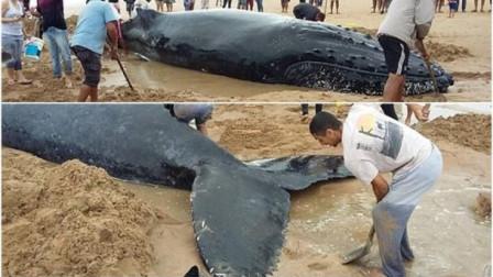 鲸鱼宝宝巴西搁浅 300人合力营救场面感人