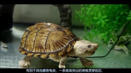 简单、易养、好上手、颜值高的入门蛋龟——剃刀龟