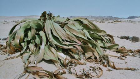 """沙漠中最""""长寿""""的植物,一生只长两片叶子,能活两千多年!"""