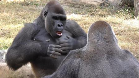 大猩猩捶胸口到底是什么意思?不是什么好事,存在着一定危险