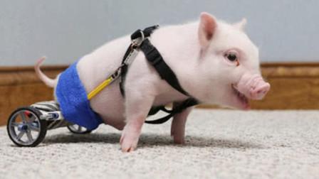 """一头天生""""残疾""""的猪,主人给它戴上轮椅后,瞬间走上猪生巅峰!"""