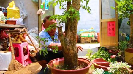 给幸福树换盆时应该注意哪些?花匠师傅教你两招!简单实用!