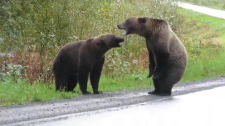 两只熊在马路中间打架 狼在远处观望