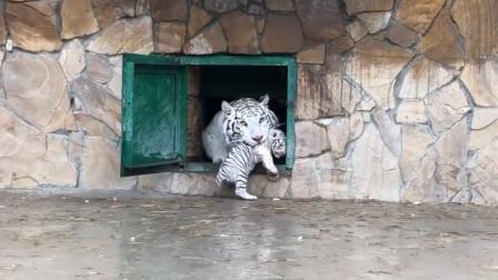 小老虎不想回家,虎妈硬把它叼回去,小老虎满脸的生无可恋!