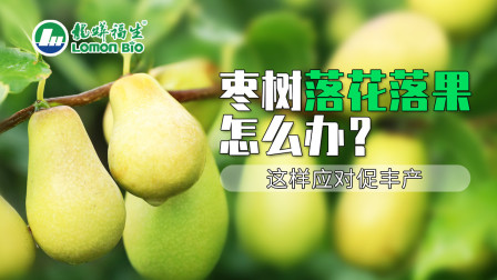 红枣栽培技术:红枣保花保果新措施