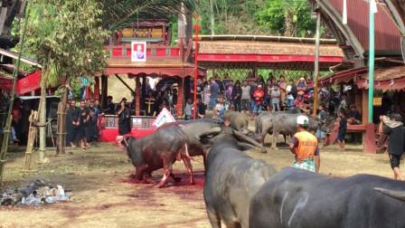 印尼奇特葬礼习俗,尸体家中存放两年,几百头水牛陪葬!