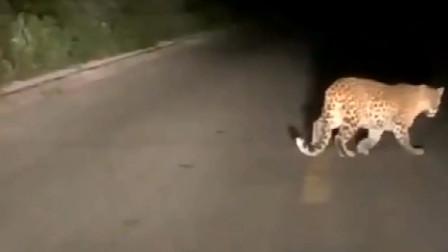 【花豹】六盘山自然保护区一只母金钱豹带着三只小金钱豹散步