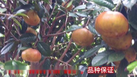 广西红花大果油茶树挂果视频藤县盛林农业大果红花油茶种植基地