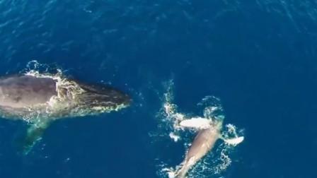 涨知识,鲸鱼为什么体型这么大?科学家告诉你答案