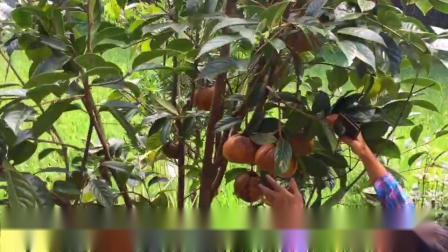 广西大果红花油茶挂果树藤县盛林农业红花油茶树苗种植基地