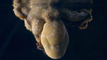 章鱼睡觉时还会变换保护色,这是做了什么梦?