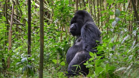 全球最贵国家公园:门票达到1万元一张,游客只为看大猩猩!