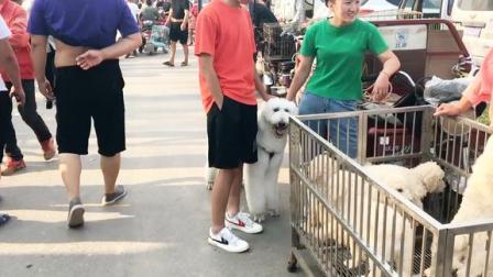 农村狗市热闹非凡,巨型贵宾犬一只就要1000块,这价格贵吗?