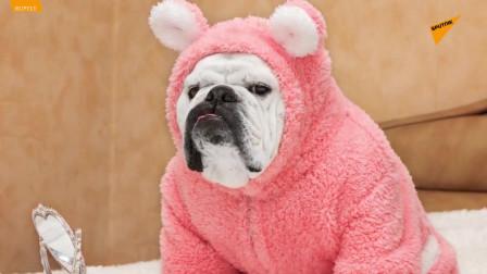 硬糖:一只拥有200万粉丝的俄罗斯斗牛犬
