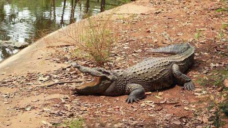 鳄鱼的盛宴 不用伏击直接张口就能吃到美味的猎物