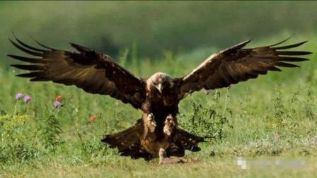 老鹰捕食松鼠全过程,一爪子下去以后,松鼠都没有反应过来
