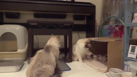 公猫非要作死,当着老婆的面,不停玩弄孩子,母猫忍不住直接开打