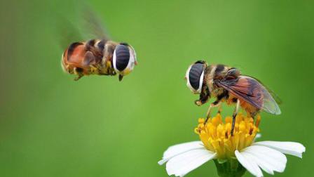 神奇一幕!一只蜜蜂使用无间道,摧毁了庞大的蜂群!