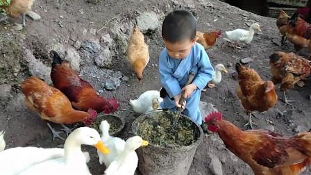 农村辰辰来帮外婆忙,鸡鸭围绕,小动作萌化了