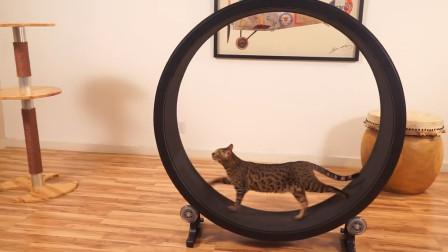 根本停不下来!当猫咪学会跑步机,从此踏上减肥之路!