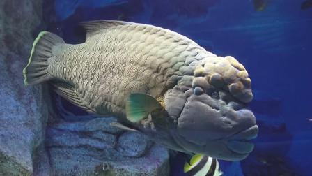 拿破仑鱼为什么昂贵?日本顶级大厨开刀,最后被惊艳到了