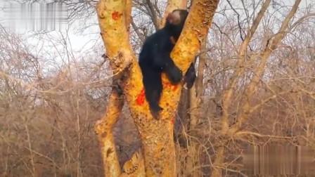 【动物世界】老虎上树追杀懒熊