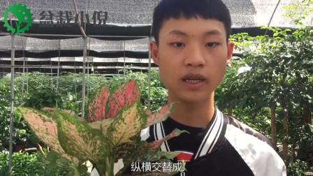 跟小倪走进植物世界,这一期给大家带来(网纹草),希望大家会喜欢。