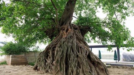 树也有灵性!千年古树信佛树根下面藏有佛龛!专家也惊叹不已!