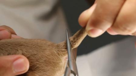 为什么有的狗尾巴会无故被剪?看完终于明白了