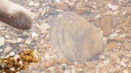 小章赶海走大运啦!找到一片沙滩埋着很多天鹅蛋,这种贝壳很稀有