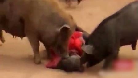 女子遭两猪发狂袭击 倒地蜷缩手脸受伤