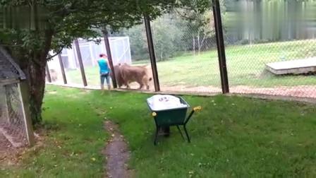 动物园里的大狮子