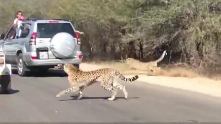 两只猎豹袭击羚羊眼看就要得手,情急之下,羚羊做出一救命举动!