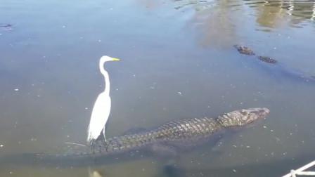 一鳄渡江!白鹭脚踩鳄鱼悠闲渡河,真是飘飘乎如遗世独立呀!