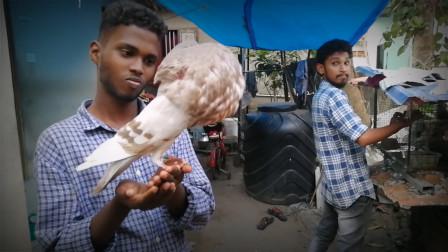 欧洲培育的球胸鸽,体型怪异,一生气就吹气不止!