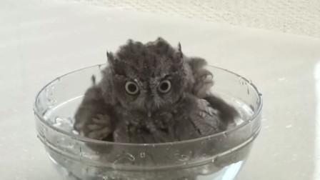 猫头鹰爱洗澡,摇头晃脑太可爱!网友:这才是真正的萌禽!