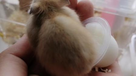 萌鼠日常,萌萌的小仓鼠趴在主人手上吃布丁,真逗