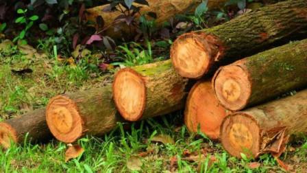 这种木材曾经被当做柴火烧,现在一公斤卖9000元,好多人后悔不已