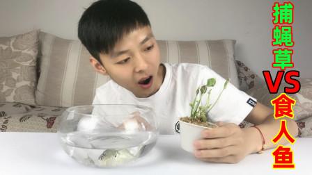 """""""捕蝇草""""可以夹死昆虫?那将""""食人鱼""""放上去会怎么样?"""