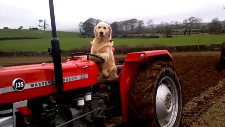 国外男子教狗狗开拖拉机,每天帮主人干农活,太让人省心了!