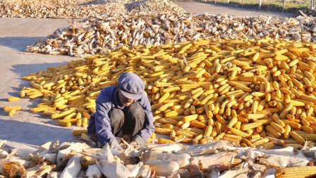 甘肃民勤庄稼人干活掰玉米皮,玉米价格还在上涨,老人干活都有劲