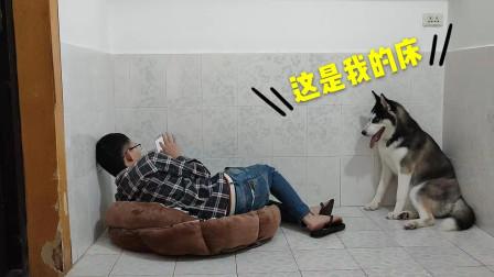 当主人睡在二哈的狗窝里,二哈会是啥反应?