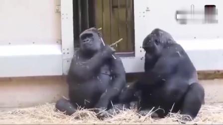 看大猩猩如何哄生气的女友