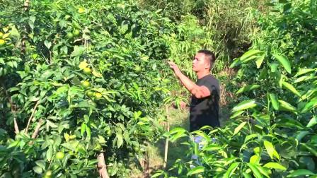农村小伙投资种植200亩沃柑老板来预定大家觉得200万合适吗